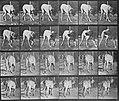 Muybridge, Eadweard - Dread, gehend (Zeno Fotografie).jpg