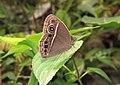 Mycalesis mineus – Dark-branded Bushbrown 10.jpg