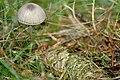 Mycena.latifolia3.-.lindsey.jpg