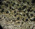 Mycoblastus sanguinarioides - Flickr - pellaea (2).jpg