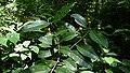 Myrcia springiana Kiaersk. (13994999355).jpg