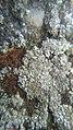 Myriolecis albescens 54854562.jpg