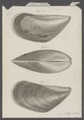 Mytilus canalis - - Print - Iconographia Zoologica - Special Collections University of Amsterdam - UBAINV0274 076 01 0014A.tif