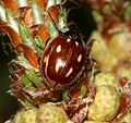 Myzia oblongoguttata (Striped Ladybird)3.jpg
