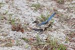 NASA Kennedy Wildlife - Florida Scrub Jay (15).jpg