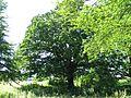 ND 611.007, Stieleiche, 1, Wolfsanger-Hasenhecke, Kassel.jpg