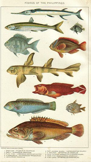 Houndfish - Houndfish (top) illustrated with several other known fishes of the Philippines.