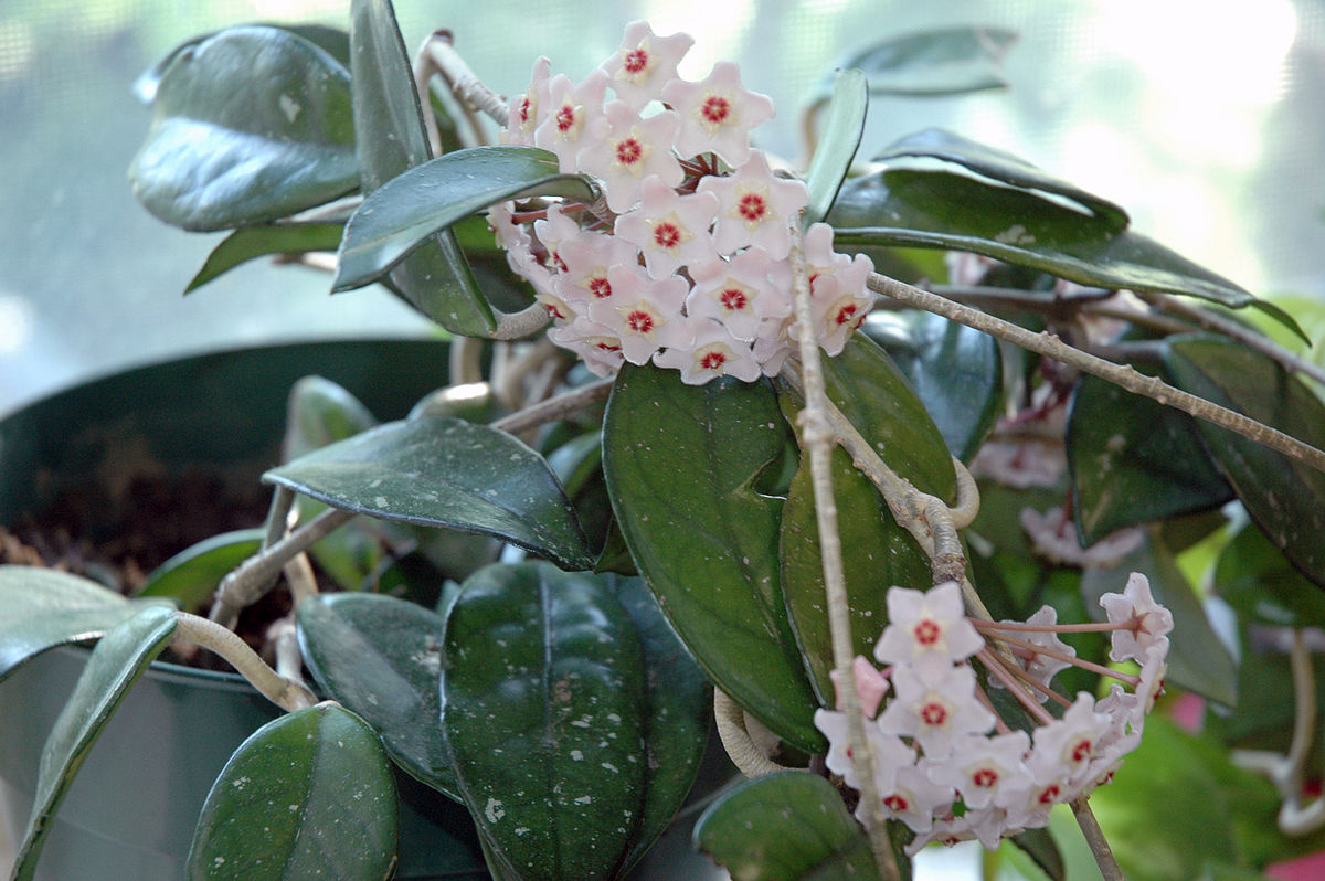 Hoya Carnosa Wikipedia