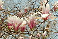 NLN Saucer Magnolia.jpg