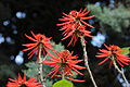 Naked Coral Tree - Erythrina coralloides 01.JPG