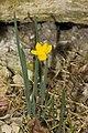Narcissus.calcicola.7113.jpg
