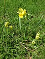 Narcissus pseudonarcissus sauvage Chamrousse.jpg