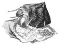 Natural History - Mollusca - Granulated Trochus.png