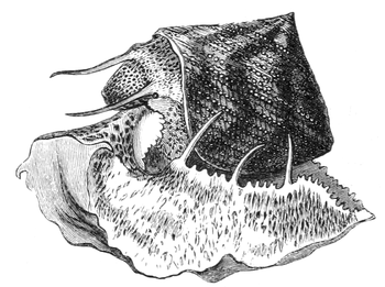 Natural History - Mollusca - Granulated Trochus.png