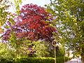 Naturdenkmal 3-5, Buche im Pastoratsgarten,Bild 2.JPG