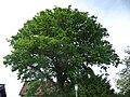 Naturdenkmal OS 00136 Eiche Neuenkirchen Melle Datei 4.jpg