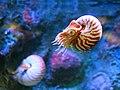 Nautilus pompilius at Monterey Bay Aquarium 2014-1.jpg