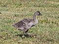Nene chick RWD4b.jpg