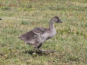 Nene (bird) - Nene gosling on Kauai