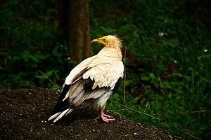 Indira Gandhi Zoological Park - Egyptian vulture (Neophron percnopterus), Zoo Park, Visakhapatnam