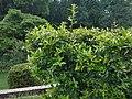 Nepal fire throne (Pyracantha crenulata).jpg