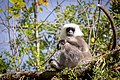 Nepal gray langur at Manag.jpg