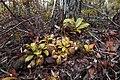 Nepenthes hookeriana2.jpg