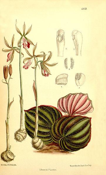 File:Nervilia plicata (as Pogonia pulchella) - Curtis' 111 (Ser. 3 no. 41) pl. 6851 (1885).jpg