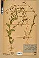 Neuchâtel Herbarium - Camelina microcarpa - NEU000022973.jpg