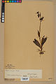 Neuchâtel Herbarium - Ophrys sphegodes - NEU000047889.jpg