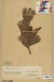 Neuchâtel Herbarium - Pinus strobus - NEU000003782.tif