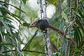 Nicobar Treeshrew (Tupaia nicobarica nicobarica).jpg