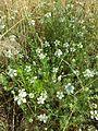 Nigella arvensis sl29.jpg