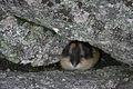 Norway lemming Abisko.jpg