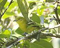 "Not so ""Common Iora"" (Aegithina tiphia) - Flickr - Lip Kee.jpg"