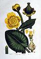 Nuphar lutea — Flora Batava — Volume v1.jpg