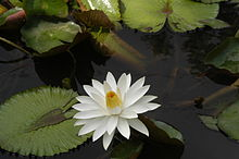 Nymphaea lotus4.JPG