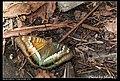 Nymphalidae (5969490436).jpg