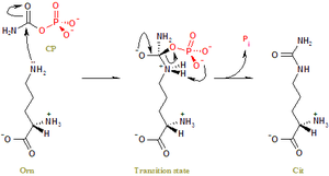 Ornithine transcarbamylase - Image: OTC reaction