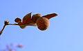 Oak Gall on Leaf.JPG