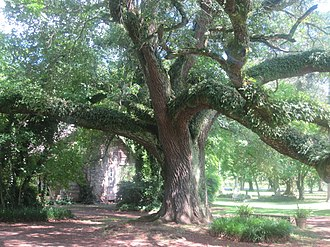 Melrose Plantation - Huge oak tree on the grounds of Melrose Plantation
