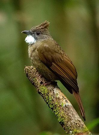 Ochraceous bulbul - Image: Ochraceous Bulbul from Kinabalu National Park