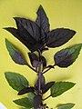 Ocimum basilicum Васильки справжні фіолетові - явище неоднакового забарвлення листків.jpg