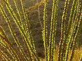Ocotillo - Flickr - treegrow.jpg