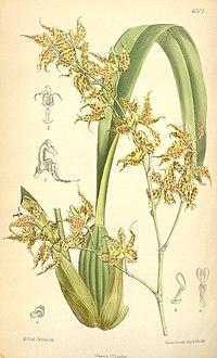 Odontoglossum odoratum