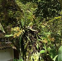 Odontoglossum praestans (1)