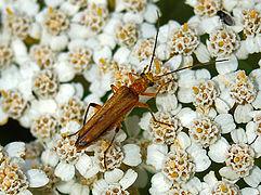 Oedemeridae - Oedemera podagrariae.JPG