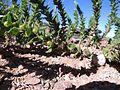 Oftia africana ripening fruit IMG 7658.jpg