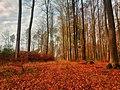 Ognisty kolor bukowych liści - panoramio.jpg