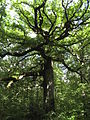 Old oak britany 2009.jpg